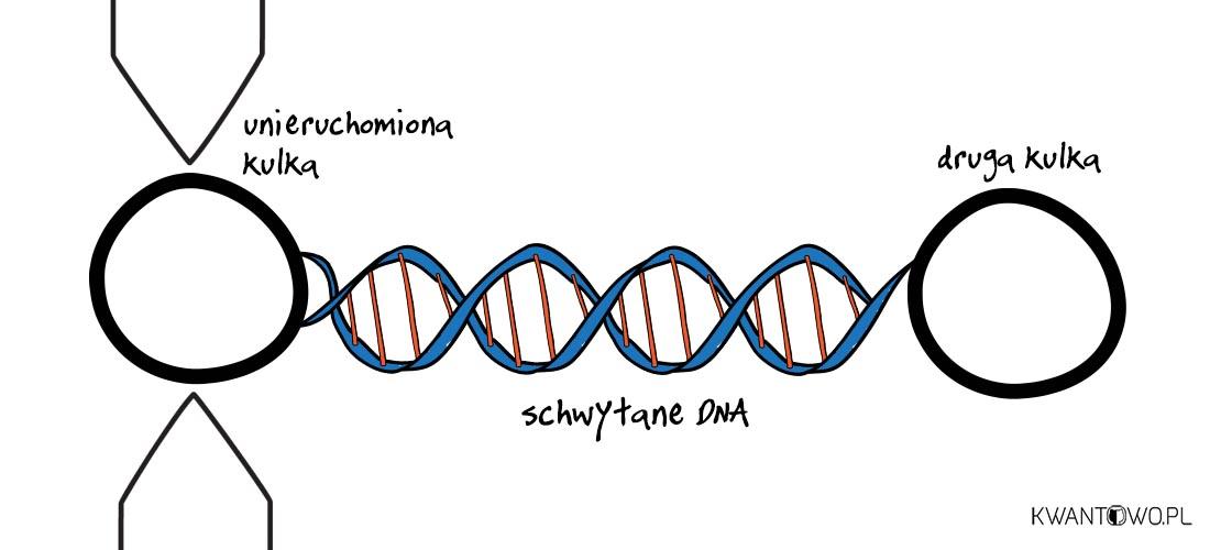 Pęseta optyczna do rozplątywania DNA