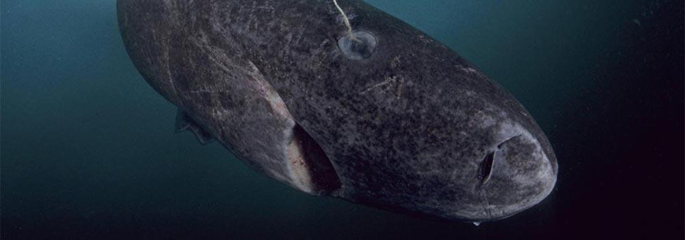 Rekin polarny
